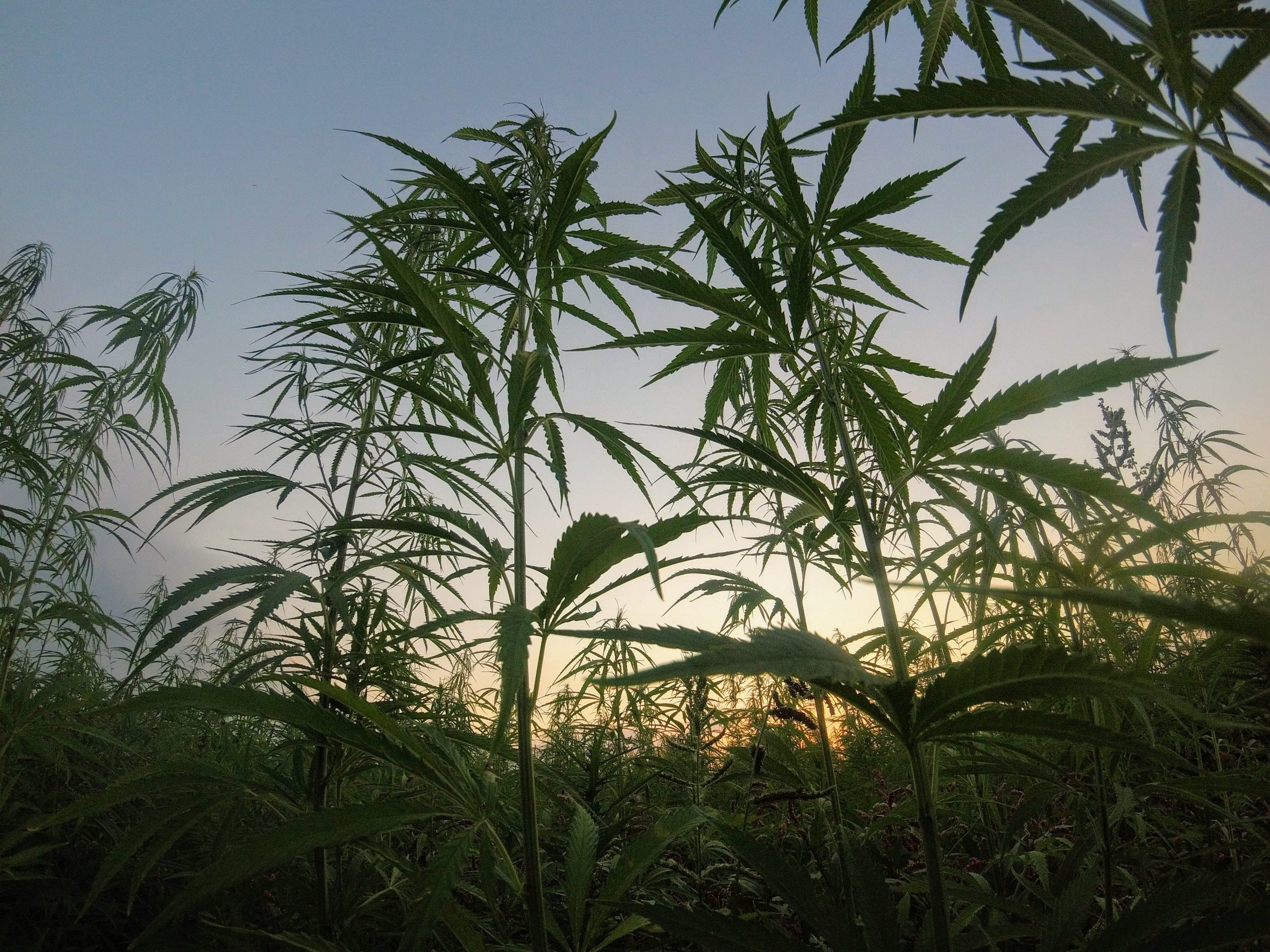 French energy firm will invest $23 million in hemp-fueled gas plant