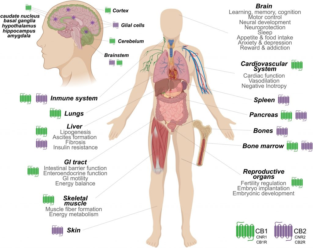 The Endocannabinoid System: Major sites and associated functions of the cannabinoid receptors in the human body. 3.