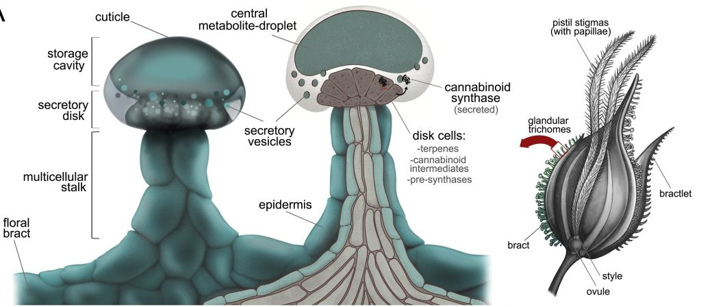 Female flower anatomy showing detailed trichome structure, the main production sites of cannabinoids for cannabinoid extraction
